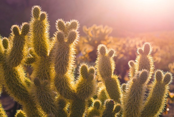 Photo of a back-lit cactus
